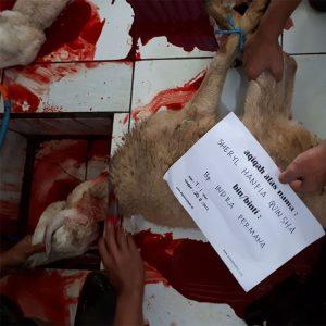 Proses Penyembelihan Domba Aqiqah Bandung di Dapur Aqiqah